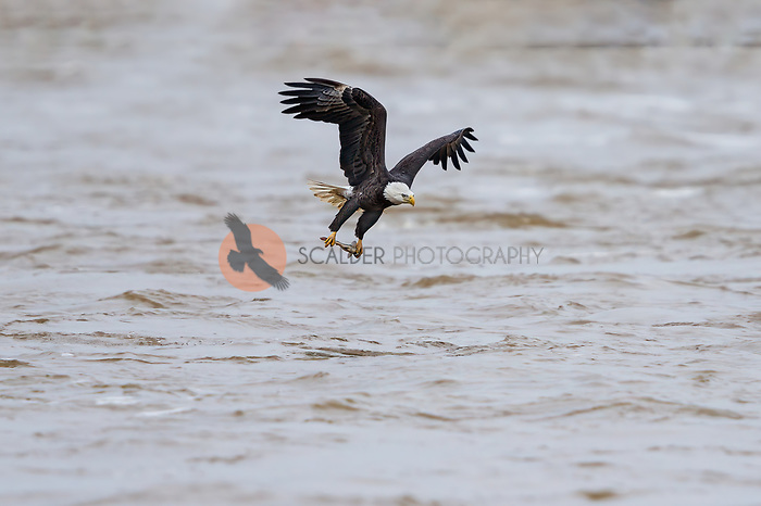 Asult Bald Eagle coming out of water with fish on cloudy rainy day