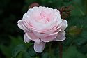 Rosa Queen of Sweden ('Austiger'), early June. A David Austin rose with beautiful pink double flowers that develop tinges of apricot as they mature.