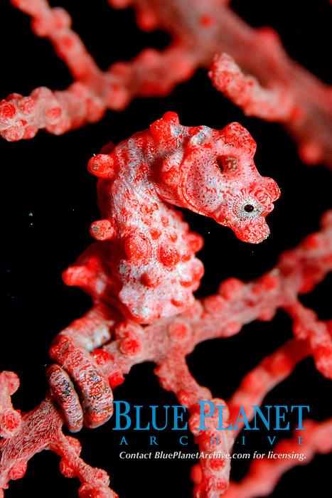 pygmy seahorse, Hippocampus bargibanti, Papua New Guinea (Pacific Ocean)