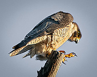 A peregrine falcon looking down from its perch on a bluff above the Truckee River just east of the town of Truckee.