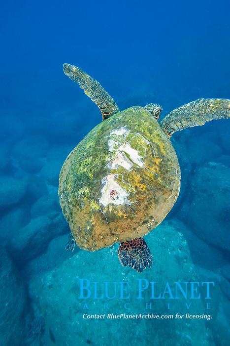 green sea turtle, Chelonia mydas, with boat propellar scars, Maui, Hawaii, USA, Pacific Ocean