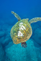 green sea turtle, Chelonia mydas, with boat propellar scars, Maui, Hawaii, USA, Pacific Ocean