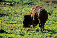 MA31-036z  American Bison - buffalo - Bison bison