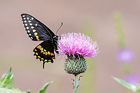 Black Swallowtail Butterfly on Texas Thistle Wildflower