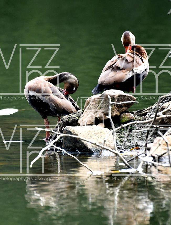 CALI - COLOMBIA - 20 - 06 - 2017: Iguaza Común (Dendrasigna Autumnalis), especie de ave muy común en el Valle del Cauca, Colombia. / Iguaza Común (Dendrasigna Autumnalis) a very common bird species in the Valle del Cauca, Colombia. / Photo: VizzorImage / Luis Ramirez / Staff.