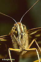 LE25-026z  Butterfly - close up of head Great Spangled Fritillary - Speyeria cybele