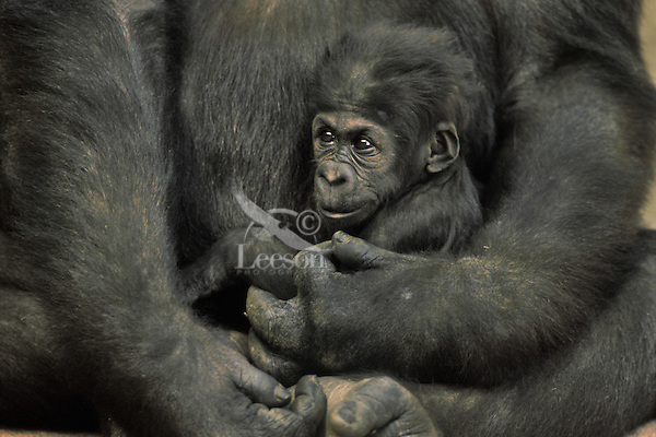 Young Lowland Gorilla (Gorilla gorilla)