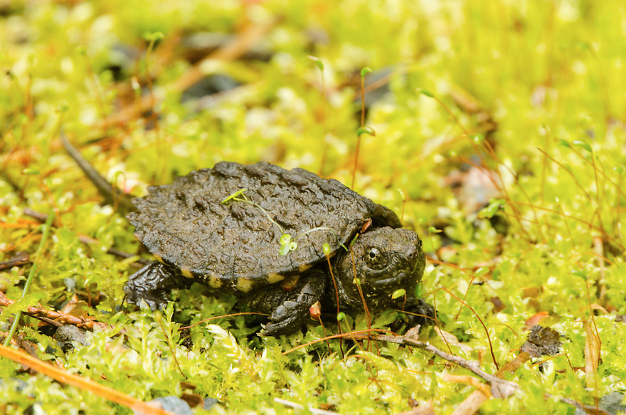 A hatchling Snapping Turtle crossing a carpet of moss. This tiny turtle measured no more than an inch from head to tail.
