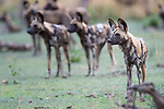 Adult female Painted Hunting Dog (Lycaon pictus) with pack behind. South Luangwa National Park, Zambia.