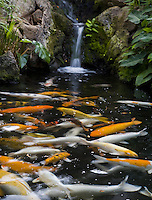 Blurred koi in a pond with waterfall and tropical plants