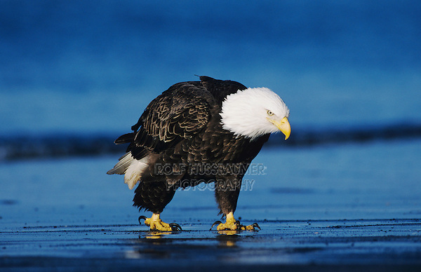 Bald Eagle, Haliaeetus leucocephalus,adult walking on beach, Homer, Alaska, USA, March 2000