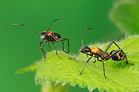 Broad-headed Bug (Hyalymenus tarsatus), Nymphs on leaf, ant mimicry, Comal County, Hill Country, Central Texas, USA