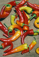 Peppers long hot Anaheim types, similar to Sandia vegetables red and yellow orange ripe, picked and harvested, many turning colors from green to yellow to orange to red, shades, chilis