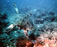 Sea Turtle photographed just off shore of San Carlos Mexico