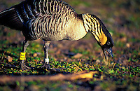 The nene, which is the world's rarest goose and the Hawaiian state bird, feeds at Haleakala National Park, Maui.