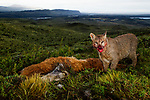 Mountain Lion (Puma concolor) yearling kitten feeding on Guanaco (Lama guanicoe) kill in pre-Andean shrubland, Torres del Paine National Park, Patagonia, Chile