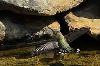 """I was amazed to see this Ruby-throated Hummingbird floating in an effort to cool off. If you look closely you can see it's just light enough to float, with the water """"tension"""" visible at the left wing tip.<br /> It used its right wing tip resting on the rock edge to keep it in place."""