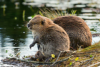 North American Beaver (Castor canadensis) sitting up grooming while at communal feeding area along edge of pond.  Northern Rockies,  Fall.