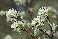 Gewöhnliche Felsenbirne, Gemeine Felsenbirne, Echte Felsenbirne, Mitteleuropäische Felsenbirne, Felsenmispel, Amelanchier ovalis, syn. Amelanchier vulgaris, syn. Amelanchier rotundifolia, Snowy Mespilus, shadbush, shadwood, shadblow, serviceberry, sarvisberry, wild pear, juneberry, saskatoon, sugarplum, wild-plum,, chuckley pear