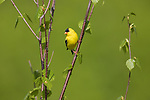 Male American goldfinch perched in a young birch tree.