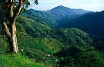 Jamaika, Portland, Blue Mountains, Anbaugebiet des Blue Mountain Kaffees | Jamaica, Portland, Blue Mountains