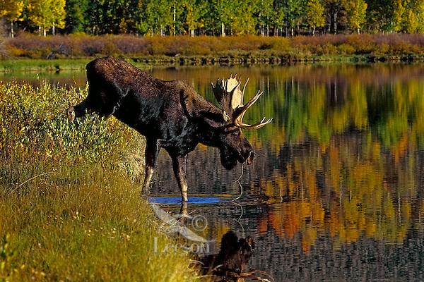 Bull Moose (Alces alces) in wetland habitat during fall rut.  Western U.S., Sept.