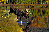 Bull Moose (Alces alces) in wetland habitat during fall rut.  Western U.S., Sept.