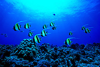 The colorful Scrawled Filefish and Milletseed Butterflyfish can be seen on Hawaii's coral reefs.