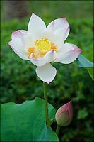 Lotus flower. China.