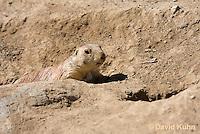 0601-1005  Black-tailed Prairie Dog by Burrow Hole Entrance, Cynomys ludovicianus  © David Kuhn/Dwight Kuhn Photography