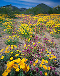 Organ Pipe Cactus National Monument, AZ<br /> Owl's clover and Mexican gold poppies in a wash with Puerto Blanco Mountains in the distance