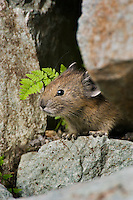 Pika (Ochotona princeps) in alpine rock pile.  Pacific Northwest.  Summer.