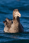 Northern Giant Petrel (Macronectes halli) on water, Kaikoura, South Island, New Zealand