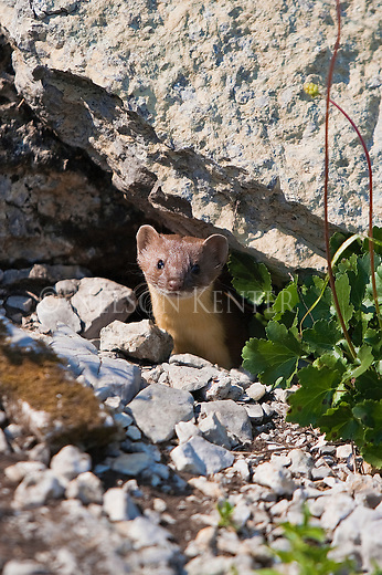 A Weasel peering out from under a boulder in the Bob Marshall Wilderness in Montana