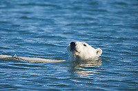 Polar bear swims in the Beaufort Sea, off the coast of Barter Island, Kaktovik, Alaska
