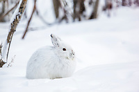 Snowshoe hare in white winter fur, Brooks Range, Alaska.