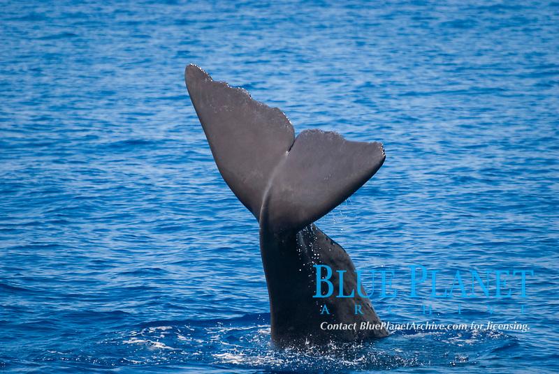 sperm whale, Physeter macrocephalus, tail slapping, fluke, Dominica, Caribbean Sea, Atlantic Ocean