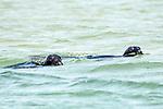 gray seal 2 shot swimming