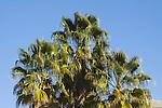 WASHINGTONIA ROBUSTA, MEXICAN FAN PALM, AT PALM SPRINGS