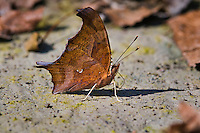 Question Mark butterfly (Polygonia interrogationis) sips minerals from soil along shoreline of Lake Erie, Ontario, Canada. Butterfly's common name dervied from small silver curved line & dot on underside of hindwing. .