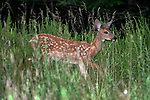 3-4 month old White-tailed deer fawn grazing in open field looking right.