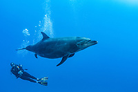 common bottlenose dolphin, Tursiops truncatus, adult, female, in the process of giving birth, observed by divemaster Jessie Hug, The Boiler, San Benedicto Island, Revillagigedo Archipelago, Mexico, Pacific Ocean