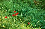 Pafos, Paphos Province near Panagia, Springs-Scenic, Poppy, Papaver rhoeas,  Cyprus, Zypern.