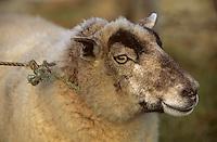 Europe/France/Bretagne/29/Finistère/Ile d'Ouessant: Moutons lors de la fête des moutons