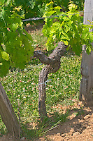 An old merlot vine in the vineyard in sandy limestone soil  Chateau de Pressac St Etienne de Lisse  Saint Emilion  Bordeaux Gironde Aquitaine France