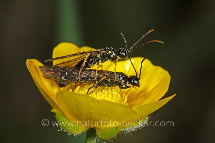 Halmwespe, Paarung, Kopula, Kopulation, Cephus spec., Halmwespen, Cephidae