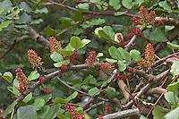 Johannisbrotbaum, Johannis-Brotbaum, Johannis - Brotbaum, Blüten, Ceratonia siliqua, Carob, St John´s Bread, Caroubier