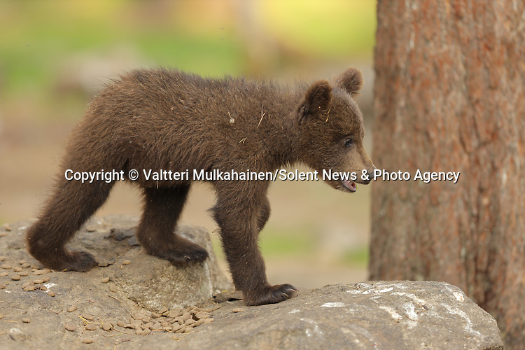 SEQUENCE 1 OF 12:  I can't bear it!<br /> <br /> This cub appears to be having a bad day as it covers its face with its paw.  The three-month-old brown bear hides his face and growls moodily.<br /> <br /> The stroppy looking cub was photographed in the Finnish spruce and pine covered taiga, or boreal forest, in Martinselkonen.  SEE OUR COPY FOR DETAILS.<br /> <br /> Please byline: Valtteri Mulkahainen/Solent News<br /> <br /> © Valtteri Mulkahainen/Solent News & Photo Agency<br /> UK +44 (0) 2380 458800