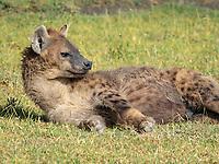 spotted hyena, Crocuta crocuta, adult n Ngorongoro Crater, Ngorongoro Conservation Area, Tanzania, Africa
