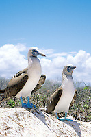 The Blue Footed Booby named for their blue legs and feet are the most common and non-descript of the Galapagos Booby.